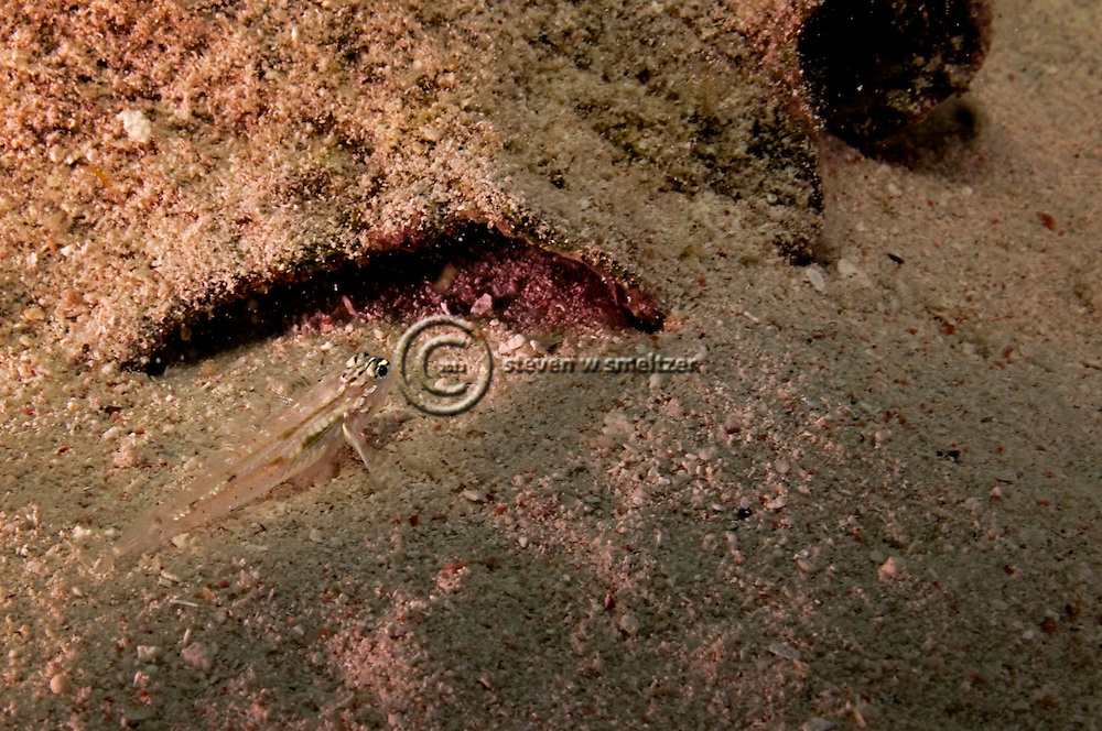 Bridled Goby, Coryphopterus glaucofraenum, Grand Cayman