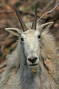 Close up of adult Rocky Mountain Goat female (Nanny)
