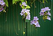 Beautiful flowers in Santa Cruz del Norte, Mayabeque, Cuba.
