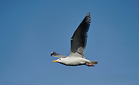 Western Gull (Larus occidentalis) in flight, , Chemainus , British Columbia, Canada