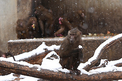 February 5, 2018 - Madrid, Madrid, Spain - A Olive baboon (Papions anubis) stands in the snow at Madrid zoo. (Credit Image: © Jorge Sanz/Pacific Press via ZUMA Wire)