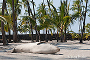 Hawaiian monk seal, Monachus schauinslandi( Critically Endangered ), 2.5 year old male relaxes on the beach under the palm trees, Pu'uhonua o Honaunau ( City of Refuge ) National Historical Park, Kona, Hawaii ( the Big Island )