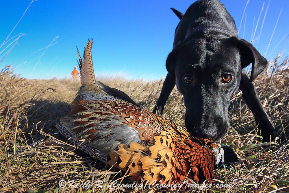 Black Labrador Retriever pup fetching rooster pheasant in South Dakota
