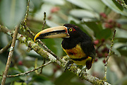Pale-mandibled Aracari (Pteroglossus erythropygius) in fruiting fig tree, 1500m cloud forest, Mindo, CHOCO, Western Andes.<br /> ECUADOR.  South America<br /> Habitat & Range: Subtropical and tropical forests Ecuador and Peru