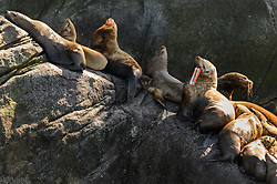 A Steller sea lion (Eumetopias jubatus) with a trolling flasher caught in its mouth sits with other Steller sea lions at the Gran Point haulout located on the Lynn Canal near Haines in southeast Alaska. Entanglement in fishing equipment and other marine debris can harm and even cause death in Steller sea lions.<br /> <br /> In a research project by Sea Gypsy Research and the Alaska Department of Fish and Game published in the Marine Pollution Bulletin 58 (2009), researchers noted &ldquo;when a flasher is near the mouth the hook is probably embedded in the animal&rsquo;s stomach. Stomach penetration likely leads to peritonitis and death.&rdquo; Additionally, infection of the jaw can lead to tooth loss or the inability to feed.<br /> <br /> The project found that of ingested fishing gear (longline gear, hook and line, spinners/spoons and bait hooks) salmon fishery flashers accounted for 80% of ingested fishing gear. Researchers estimated that flashers are used by commercial trollers on only 20% of their hooks.<br /> <br /> Trolling flashers like the one shown are used by both commercial and sports fisherman with commercial fisherman. In Alaska, trolling flashers use is legal only in Southeast Alaska. <br /> <br /> There are two distinct populations of Steller sea lions in Alaska. The majority of Stellar sea lions that frequent the Lynn Canal are part of the eastern population of Steller sea lions which are not listed as endangered under the Endangered Species Act; unlike the western population of Steller sea lions which are listed as endangered. That said however, there have been confirmed sightings of the western population Steller sea lions at Gran Point.