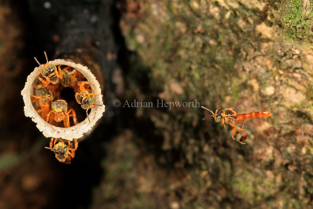 Stingless Bees (Tetragonisca angustula) at nest entrance on tree trunk. Rainforest, La Selva Biological Station, Costa Rica. <br />