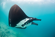 Manta Ray (Mobula birostris)<br /> GALAPAGOS ISLANDS,<br /> Ecuador, South America