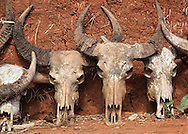 Skulls of water buffalos, Chiang Rai