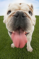 Bulldog with tongue out close-up