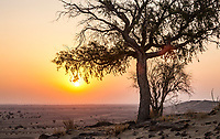 A lone tree atop a hill with sand dunes on it as the sun rises over the Thar Desert of Rajasthan, India.