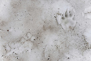 Wolverine(R) and possibly mountain lion(L) tracks in the snowfield at the base of Mount Clements at Logan Pass, Glacier National Park, Montana , Tuesday, October 7, 2014. According to Dan Fagre Ph.D. wolverine are snow-dependent carnivores and snow is no longer lasting in the Logan Pass area.
