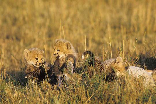 Cheetah, (Acinonyx jubatus) Cubs chewingon horn of Thomson's Gazelle. Masai Mara Game Reserve. Kenya. Africa.