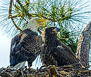 Adult and juvenile Bald Eagle in their nest