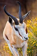 Alberto Carrera, Springbok, Antidorcas marsupialis, Khama Rhino Sanctuary, Serowe, Botswana, Africa