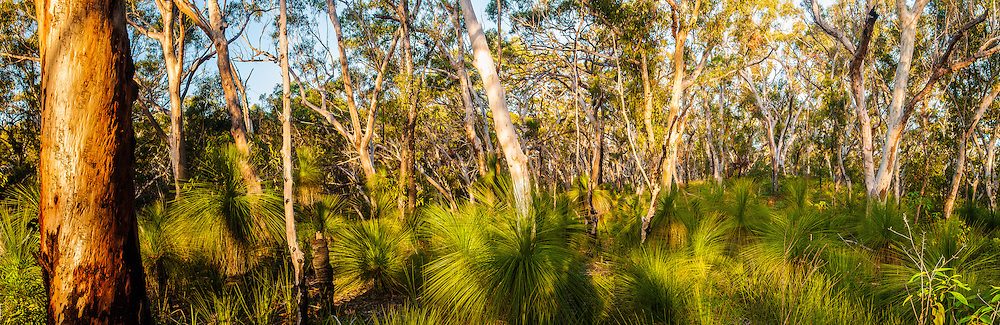 Scribbly Gum & Grass Trees, Mt. Tempest, Moreton Island, Queensland, Australia