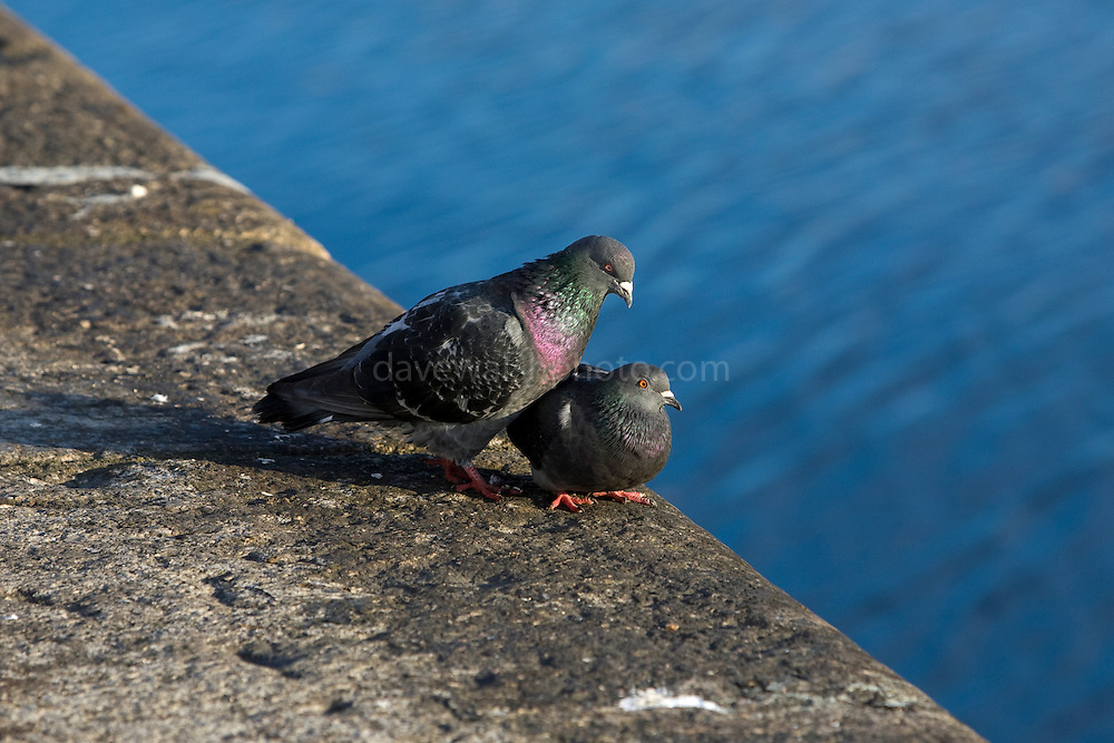 Pigeons on the north quay, Dublin
