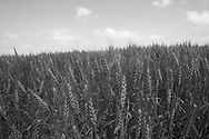 A wheat crop in central Kansas.  Photo by Dennis Brack