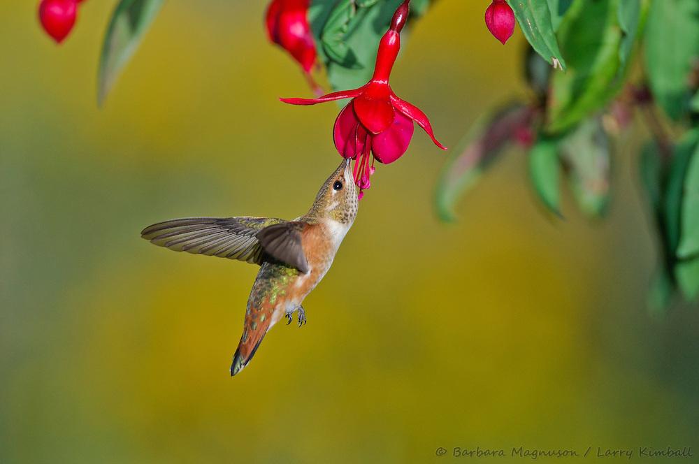 Rufous Hummingbird [Selasphorus rufus] female,  feeding on Fuschia flowers; Fremont County, Colorado