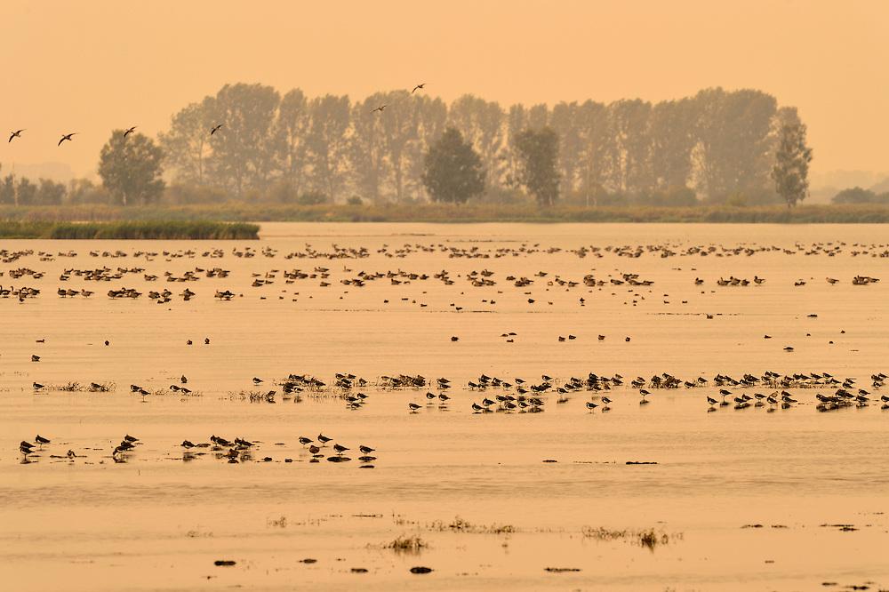 'Resting birds on flooded lands near Bugewitz, Germany