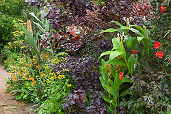 Hedychium, rudbeckia, crocosmia and Dahlia 'Bishop of Llandaff' with Cotinus coggygria Purpureus Group in the hot border at Glebe Cottage