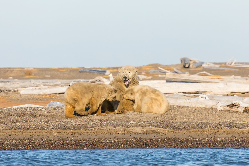 Sow polar bear (Ursus maritimus) and cubs nursing on spit along Beaufort Sea on Barter Island in Kaktovik, Alaska. Autumn. Afternoon.