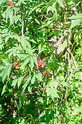 Red berry fruit on  wild shrub, Photographed in Austria, Tyrol