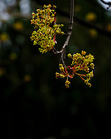Maple Tree Flowers. Image taken with a Fuji X-H1 camera and 80 mm f/2.8 macro lens