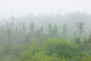 Spruce trees in fog<br /> Brier Island<br /> Nova Scotia<br /> Canada