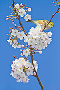 Silvereye, blossom tree, New Zealand