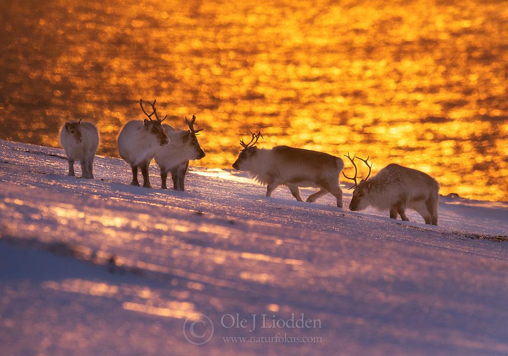 Svalbard Reindeer (Rangifer tarandus platyrhynchus) in Spitsbergen, Svalbard
