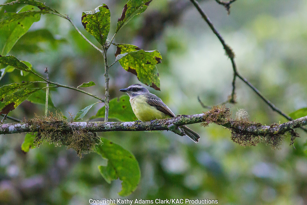 Golden-crowned flycatcher, Myiodynastes chrysocephalus, Inkaterra Machu Picchu; Inkaterra Machu Picchu Pueblo Hotel; Myiodynastes chrysocephalus; Peru, Augas Calientes;