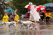 Even the dalmatians have rain gear on during the 2012 Holiday at Home Parade on Far Hills Avenue in Kettering, Monday, September 3, 2012.