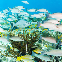 Schools of snapper, schoolmasters and bermuda chub swarm the reefs of the Exuma Cays Land and Sea Park, The Bahamas first Marine Protected Area.