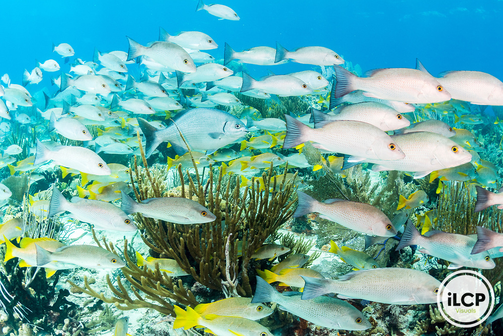 Schools of snapper, Schoolmaster Snapper (Lutjanus apodus) and bermuda chub swarm the reefs of the Exuma Cays Land and Sea Park, The Bahamas first Marine Protected Area.