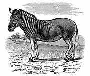 Quagga (Equus quagga): Extinct South African mammal of the horse family. Engraving published London 1893.