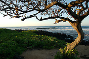 Tree at sunrise off of Poipu Beach, Kauai,Hawaii