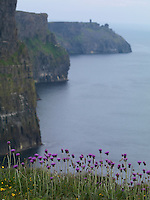 Cliffs of Moher Burren Ireland Cirsium thistles