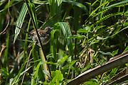 Banded Prinia (Prinia bairdii)<br /> Dzebe Bai<br /> Odzala - Kokoua National Park<br /> Republic of Congo (Congo - Brazzaville)<br /> AFRICA