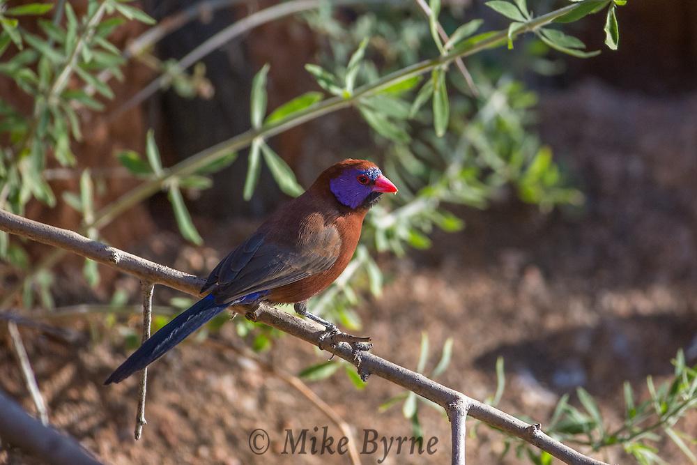 Violet-eared waxbill at Okonjima, Namibia.