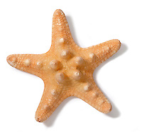 A Starfish photographed on a white background.