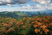 Vibrant Flame Azalea bloom alongside the Appalachian Trail as it crosses through Engine Gap in the Roan Highlands along the North Carolina and Tennessee state borders.  The Roan Highlands are a highlight of the Southern Appalachian Mountains