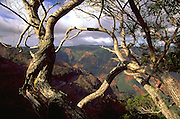 Koa trees, Waimea Canyon, Kauai, Hawaii, USA<br />