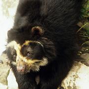 Rare spectacled bear relaxes in the San Martin animal rescue shelter, Banos, Ecuador.