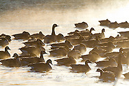 00748-05411 Canada Geese (Branta canadensis) flock on frozen lake at sunrise, Marion Co, IL
