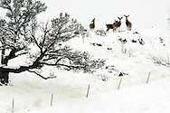 Mule Deer does (Odocoileus hemionus) after winter storm, with Black billed Magpie (Pica hudsonia) bird on butt