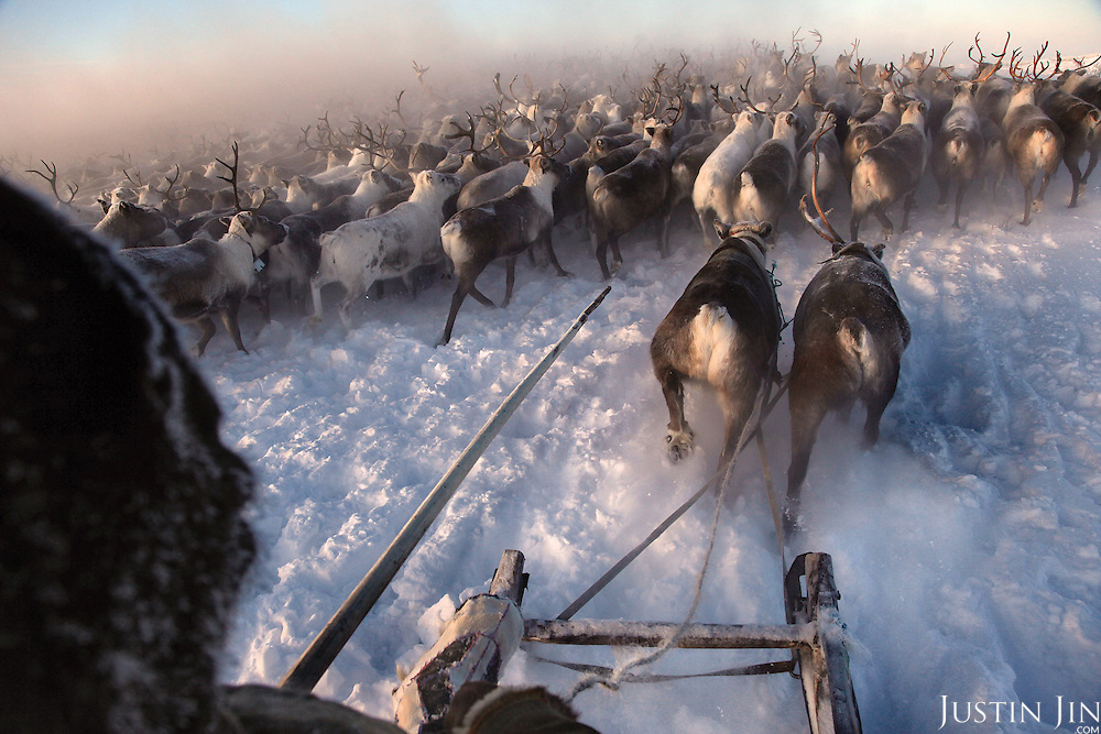 A Nenets herder collects his reindeers in -40C (-40F) in the Arctic tundra outside in the Russian Nenets Autonomous Region. They are the original inhabitants in the Russian Arctic before being displaced by Soviet collectivisation and modern gas and oil exploration. <br /> The herders sell the meat to sausage factories and the antlers to China for use as traditional medicine.