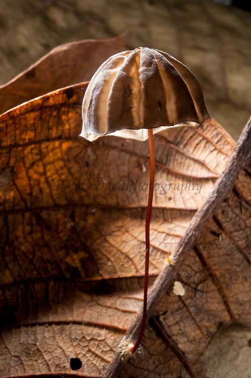 Parasol Mushroom (Marasmius sp.)<br /> Yasuni National Park, Amazon Rainforest<br /> ECUADOR. South America<br /> HABITAT &amp; RANGE: