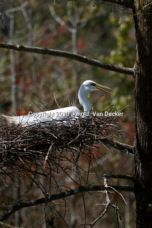 A Great Egret, Ardea alba, nesting in a rookery, Audubon Swamp Garden at Magnolia Plantation and Gardens, Charleston, SC