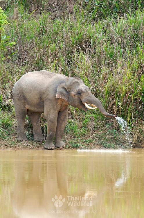Wild male asian elephant, Elephas maximus, at Kui Buri National Park, Thailand.