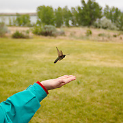 A young woman releases a black-chinned hummingbird after it has been banded at the 2012 BioBlitz, Deer Flat National Wildlife Refuge, Nampa, Idaho